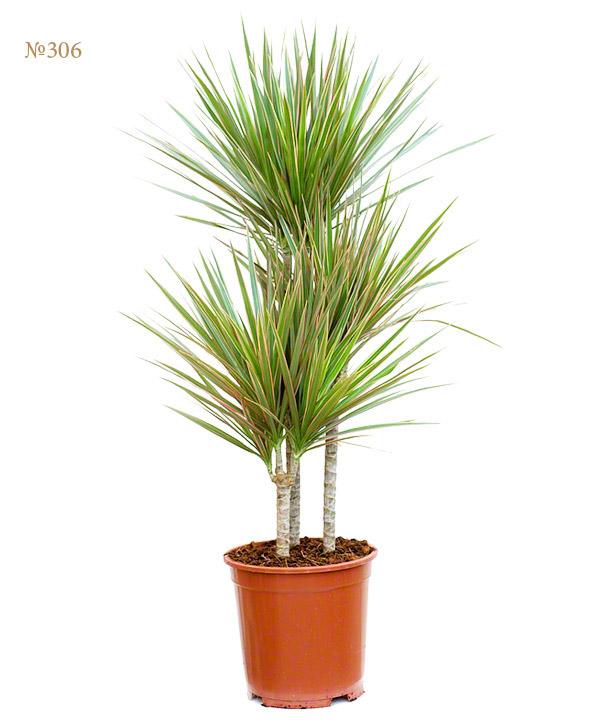 """Горшечное растение """"Домашняя пальма"""" от MEGAFLOWERS"""