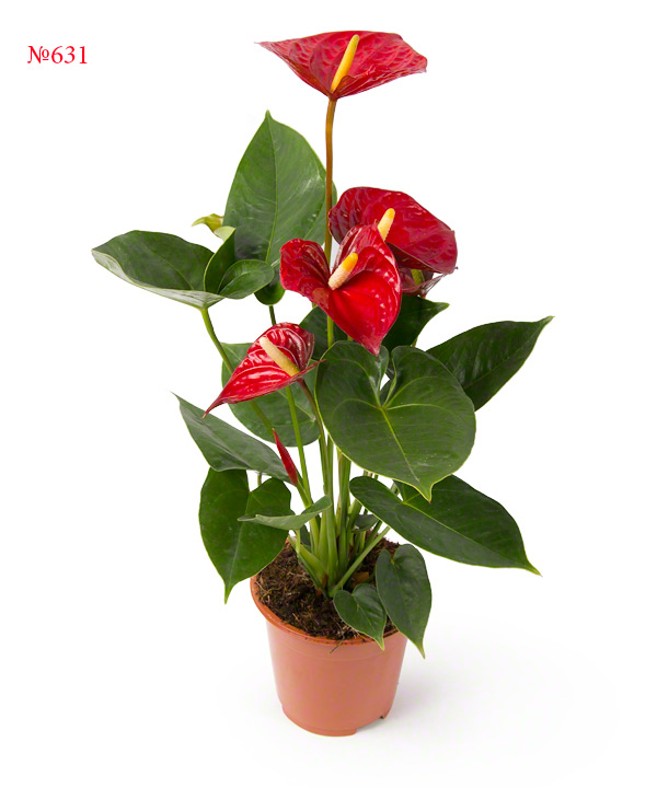 Цветы антуриум